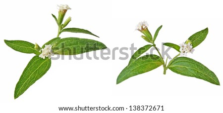 Blossomed stevia rebaudiana, sweet leaf sugar substitute on white background