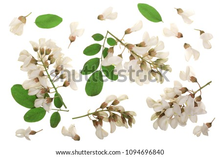 Blossoming acacia with leafs isolated on white background, Acacia flowers, Robinia pseudoacacia . White acacia