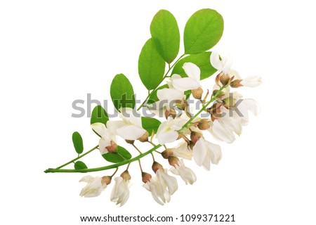 Photo of  Blossoming acacia with leafs isolated on white background, Acacia flowers, Robinia pseudoacacia . White acacia