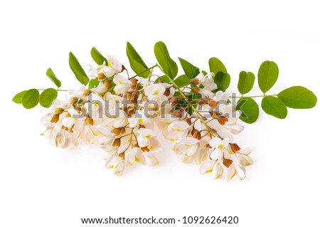 Blossoming acacia with leafs isolated on white background, black locust, Acacia flowers, Robinia pseudoacacia (White acacia)