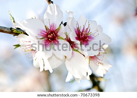 Blossoming almond flower in springtime in Portugal