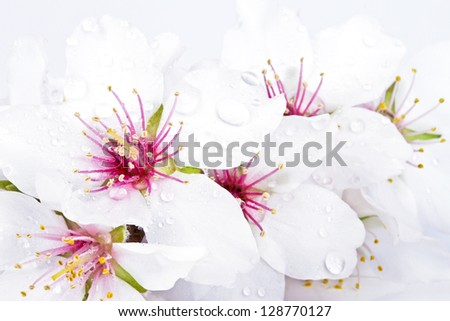 Blossoming almond flowers close up