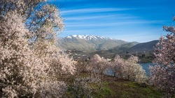 Blossoming almond trees at Lake Ram (Birkat Ram) - a crater lake (maar) in the northeastern Golan Heights, with a Druze town of Majdal Shams and a snow-capped Mount Hermon in the background