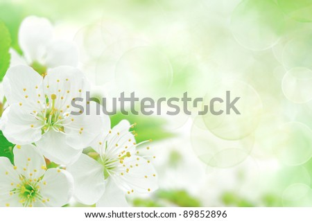 Blossoming an cherry on a light background