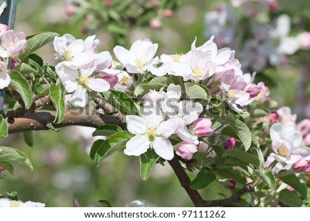 Blossoming apple garden in spring