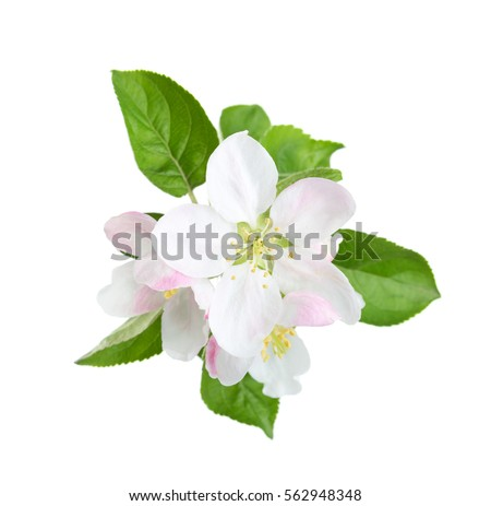 Blossoming apple tree branch isolated on white background