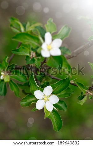 blossoming apple tree in the sun in early spring