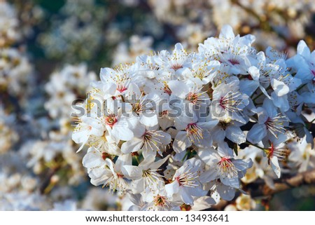 Blossoming apricot
