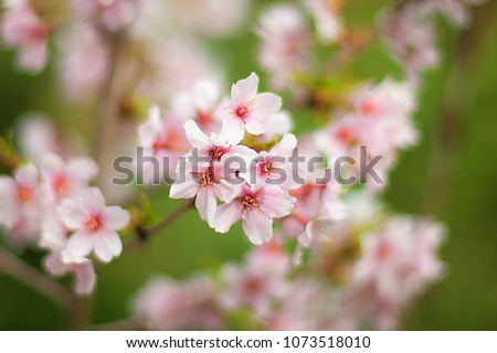 Blossoming apricot tree in the garden, blurred backdrop. Apricot blossoms on branchlet in orchard, unfocused bg. Abloom apricot spray in the spring, blurry background. Pink apricot flowers in spring #1073518010