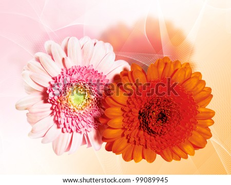 Blossoming beautiful two  flower gerbera - orange and pink color