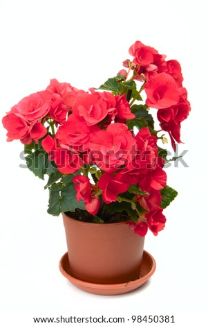 Blossoming begonia isolated on white background