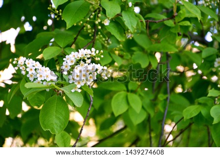 Bird Cherry Tree Branch With Flowers Isolated On White