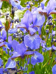 Blossoming blue iris flowers in spring meadow. Delicate violet iris flower on flower bed. Lots of colorful irises. Large cultivated bearded irises (Iris Germanica, Iris ensata, Hana shoubu). Closeup