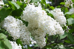 Blossoming branch of a white lilac close-up