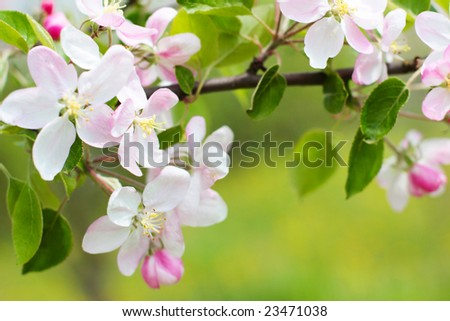Blossoming branch of an apple-tree