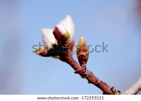 Blossoming buds on tree on bright background