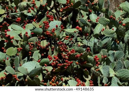 stock-photo-blossoming-cactus-49148635.jpg