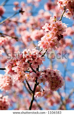 Blossoming cherry tree in spring with a blue sky in the background.