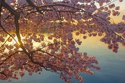 Blossoming cherry trees at dawn around Tidal Basin, Washington DC