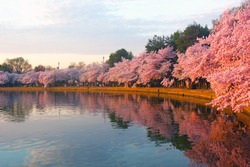Blossoming cherry trees at dawn around Tidal Basin, Washington DC. Cherry trees in full blossom around Tidal Basin lightened by the rising sun.