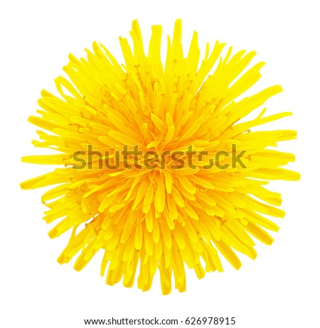 Blossoming dandelion yellow head cutout isolated on white background without shadow, macro photo. Dandelion flower head with clipping path, overhead shot. Taraxacum head in white scene