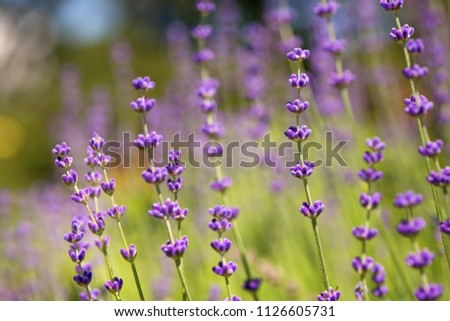 Blossoming field, meadow at sunrise, springs blossoms for bees collecting nectar and pollinating new flowers. Beautiful summer morning or evening purple background.