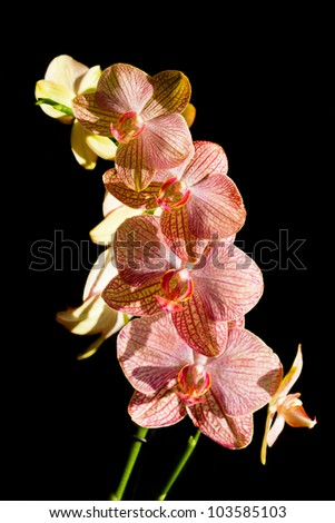 Blossoming flower exotic orchid on black background