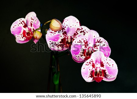 Blossoming flower exotic orchid Phalaenopsis on a background