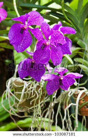 Blossoming flower exotic orchid Vanda in the Thai garden  in a summer season