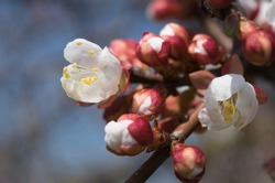 Blossoming flowers and lots of pink buds of apricot on a blurred blue sky background