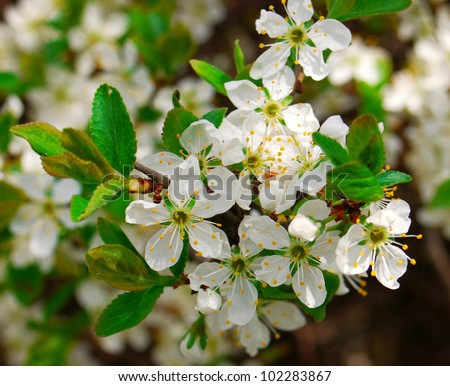 Blossoming flowers on the apple tree