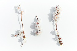 Blossoming fruit branch. Blooming fruit branches. Apricot blossoms on a white background