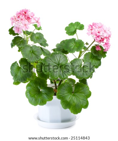 blossoming geranium in pot