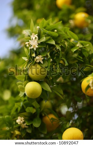 Blossoming greapfruit tree with fruits and flowers
