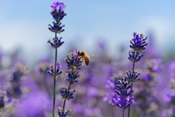 Blossoming lavender, bees are observed in the flowers trying to drink the nectar to carry the honeycomb