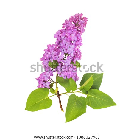 Blossoming lilac isolated on white background. Spring lilac. Lilac branch