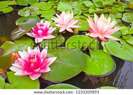 Blossoming Lotus
