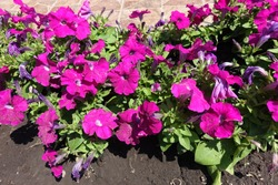 Blossoming magenta colored petunias in mid June