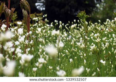 Blossoming Meadow. Spring meadow blooming. Spring meadow with white blossoms - flowers. #1339532507