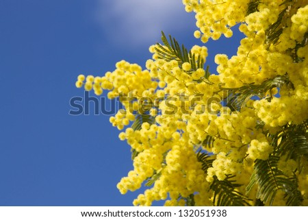 blossoming mimosa - stock photo
