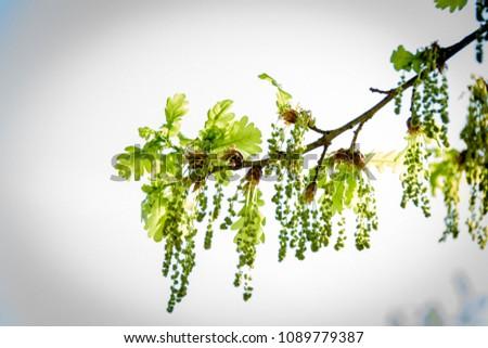 Blossoming oak tree branch #1089779387