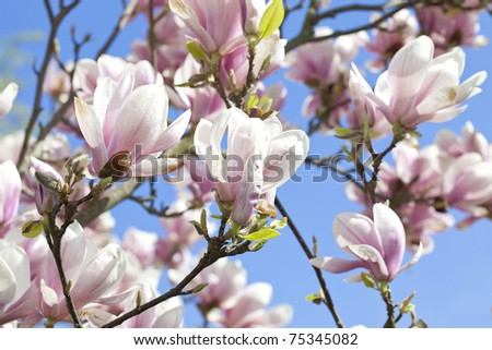 blossoming of magnolia trees during spring.