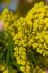 Blossoming of mimosa tree (Acacia pycnantha, golden wattle)bright yellow flowers, coojong, golden wreath wattle, orange wattle, blue-leafed wattle, acacia saligna