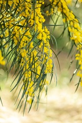 Blossoming of mimosa tree Acacia pycnantha, golden wattle close up in spring, bright yellow flowers, coojong, golden wreath wattle, orange wattle, blue-leafed wattle, acacia saligna