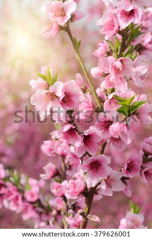 Blossoming peach. Branch with flowers, closeup.