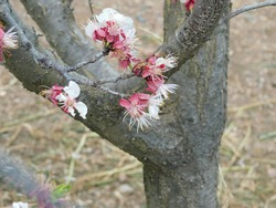 Blossoming pink and white peach flowers on the grey peach tree bark
