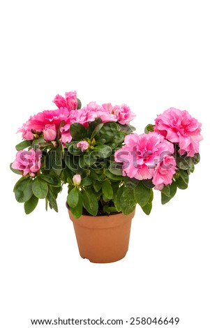 Blossoming pink azalea in a flowerpot isolated on white background #258046649