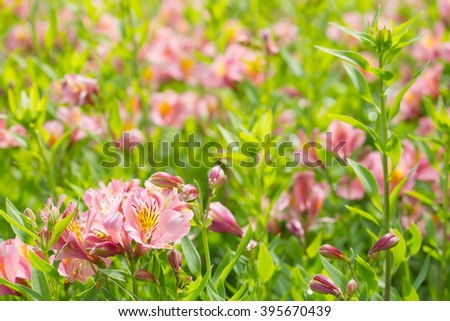 blossoming pink day lily