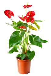 Blossoming plant of Anthurium/Flamingo flowers in flowerpot isolated on white
