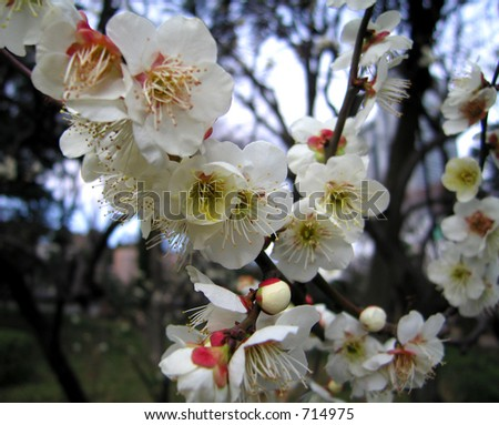 Blossoming plum tree (Tokyo, Japan)